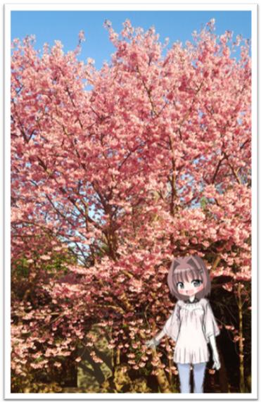 まりあの休日(お花見で新種の桜【プリンセス雅】)