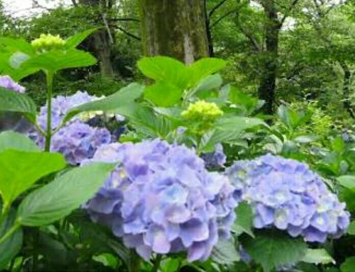 まりあの休日(雨の日の紫陽花を見たら憂鬱な気分が晴れました)