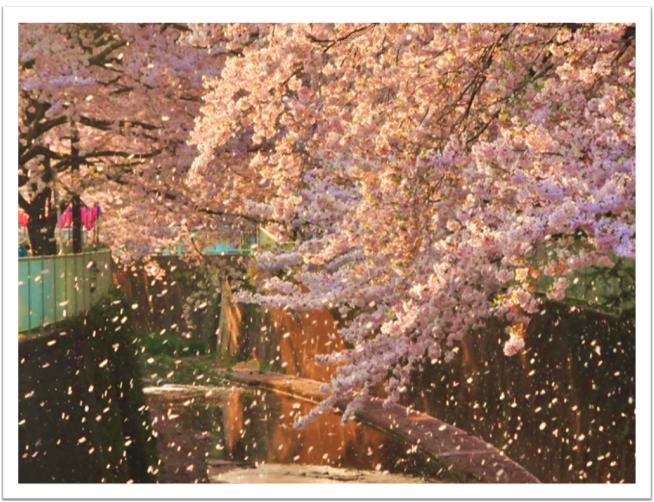 まりあの休日(春の風で桜が散ると春本番です)